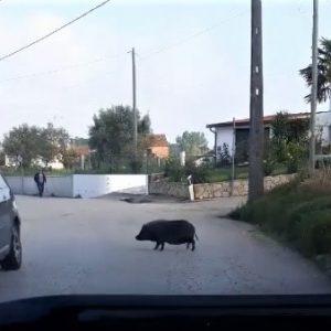 JAVALI PASSEOU-SE NA ESTRADA NO CASAL DO BARRIL OBRIGANDO AUTOMOBILISTAS A PARAR