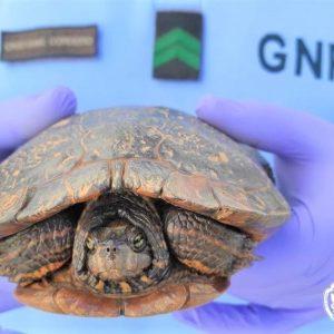 Tartaruga De Faces Rosadas Resgatada Pela GNR No Rio Arunca Em Pombal