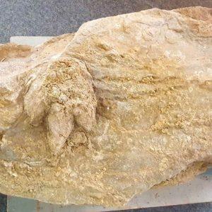 Descoberto Na Figueira Da Foz Fóssil De Pegada De Dinossauro Com 154 Milhões De Anos